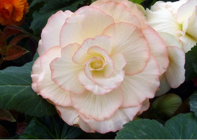 DISPLAY 2 - Tuberous Begonia / Gloxinia  (5 of 7)
