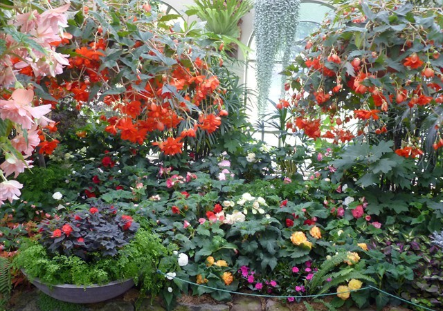 DISPLAY 2 - Tuberous Begonia / Gloxinia  (6 of 7)