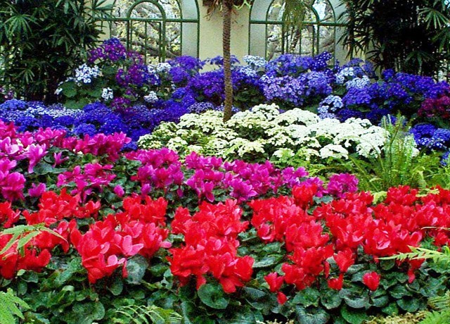 DISPLAY 4 - Cineraria / Cyclamen  (3 of 7)