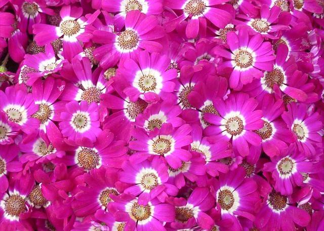 DISPLAY 4 - Cineraria / Cyclamen  (4 of 7)