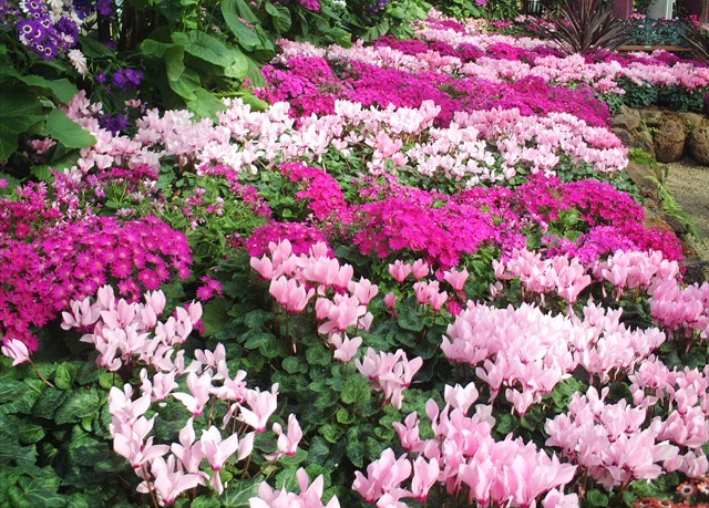 DISPLAY 4 - Cineraria / Cyclamen  (5 of 7)