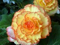 DISPLAY 2 - Tuberous Begonia / Gloxinia  (2 of 7)