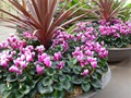 DISPLAY 4 - Cineraria / Cyclamen  (2 of 7)