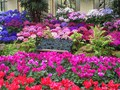 DISPLAY 4 - Cineraria / Cyclamen  (6 of 7)