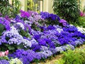 DISPLAY 4 - Cineraria / Cyclamen  (7 of 7)
